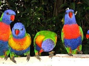 parrot_rainbow_lorikeet_2sf